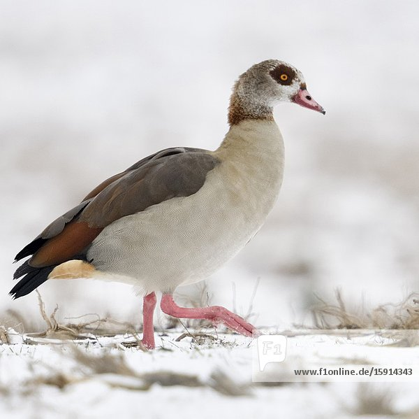 Egyptian Goose / Nilgans (Alopochen aegyptiacus)  invasive species in winter  walking over snow covered farmland   searching for food  wildlife  Europe.