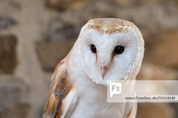 Barn Owl / Schleiereule ( Tyto alba )  Common Barn Owl  most popular owl  white variant  frontal view  Western Europe.