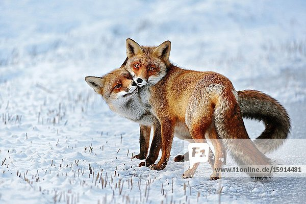 Red Fox ( Vulpes vulpes )  Red Foxes in love  caressing  tenderness  cute emotional behaviour  pair of foxes in winter  snow  wildlife  Europe.