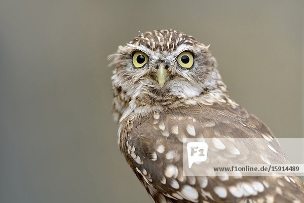 Little Owl / Minervas Owl ( Athene noctua )  small owl species  widespread all over Europe  watching frowning  direct eye contact  funny bird of prey.
