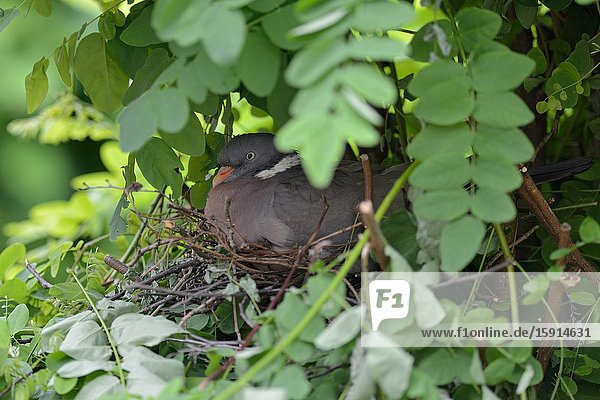 Wood Pigeon / Ringeltaube ( Columba palumbus ) nesting  breeding  sitting on eggs  hatching  hidden in a tree  very careful and secretive  Europe.