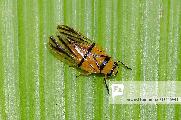 Spittlebug (Aufidus spectabilis) on leaf  Weda  Halmahera  Indonesia.