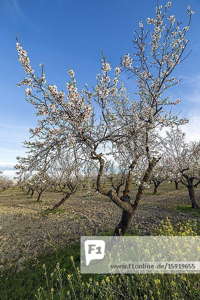 Blooming almond trees and grass with yellow flowers in Pinto. Madrid. Spain. Europe.