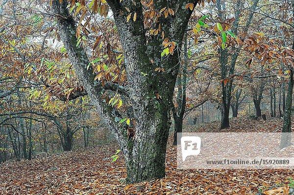 The Forest of El Castañar (Chesnut grove) in autumn. Casillas town  Avila province  Spain