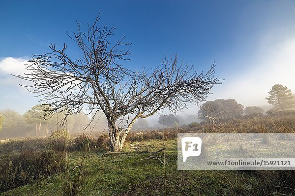 Fig tree and fog at the pinewood. Madrid. Spain. Europe.