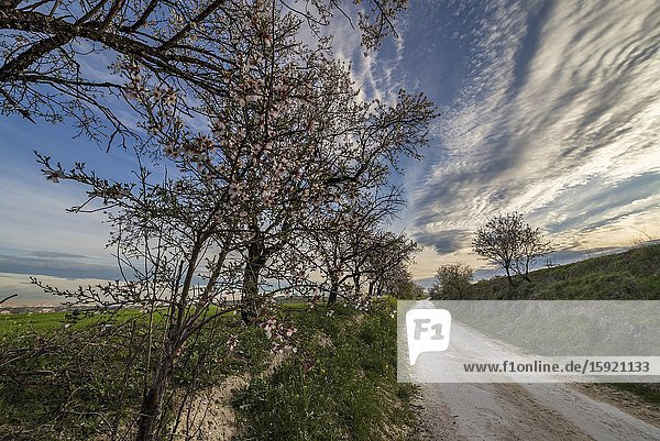 Road between almond trees in spring time. Pinto. Madrid. Spain. Europe.