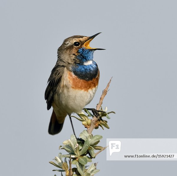 White-spotted Bluethroat ( Luscinia svecica ) adult male  perched on seabuckthorn  singing  wildlife  Europe.
