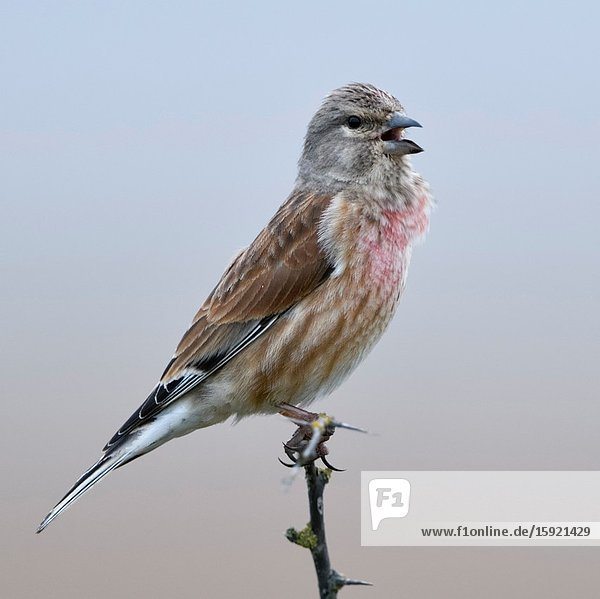 Common Linnet / Bluthänfling ( Carduelis cannabina )  male bird in breeding dress  perched on top of a dry thorny bush  singing  wildlife  Europe.