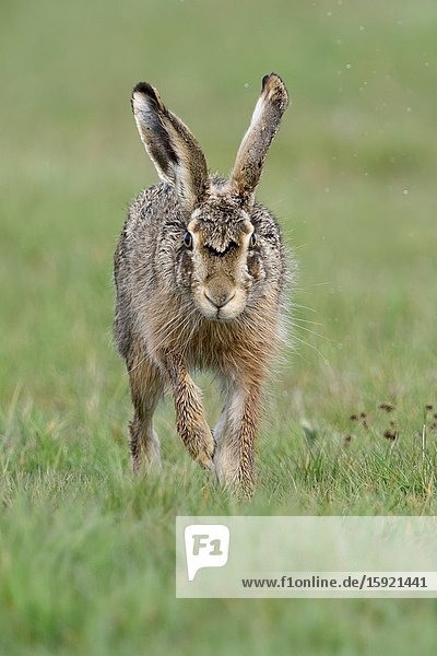Brown Hare / European Hare / Feldhase ( Lepus europaeus ) running towards camera  the photographer  eye contact  looks funny  wildlife  Europe.