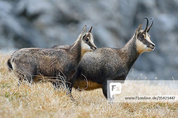 Chamois / Alpine Chamois ( Rupicapra rupicapra )  adult female with young fawn in autumn  Allgäu  Germany  wildlife.