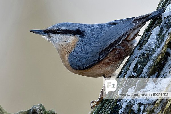 Eurasian Nuthatch / Europaeischer Kleiber ( Sitta europaea ) in winter  perched in a tree  watching around  typical pose  wildlife  Europe.