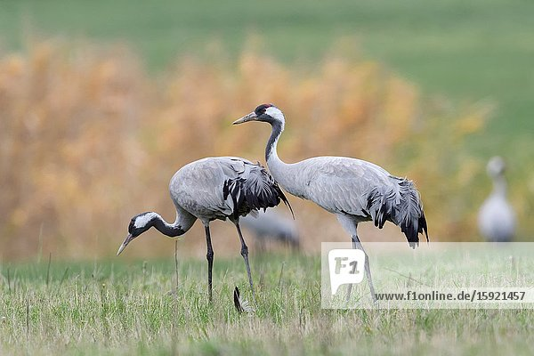 Common Cranes ( Grus grus )  two  pair  couple  resting on grassland  searching for food  close by  detailed shot  natural surrounding  wildlife  Europe.