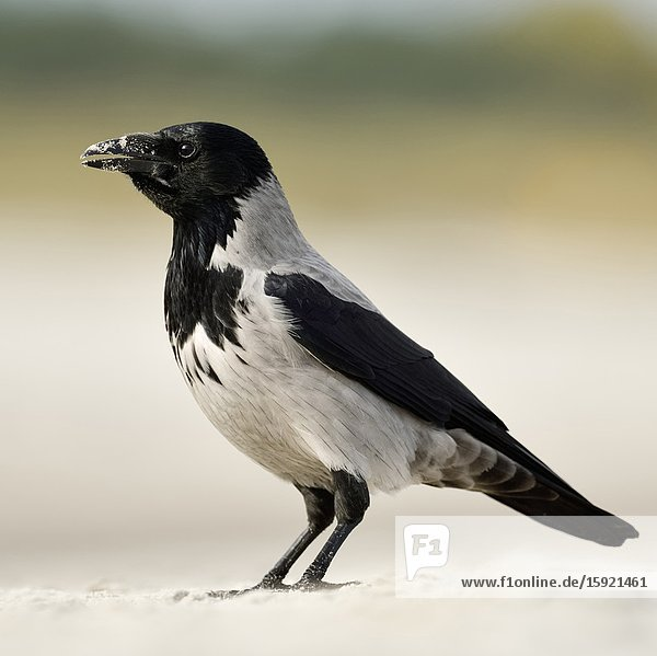 Hoodiecrow ( Corvus cornix )  sitting on a sandy beach  calling  side view  wildlife  Europe.