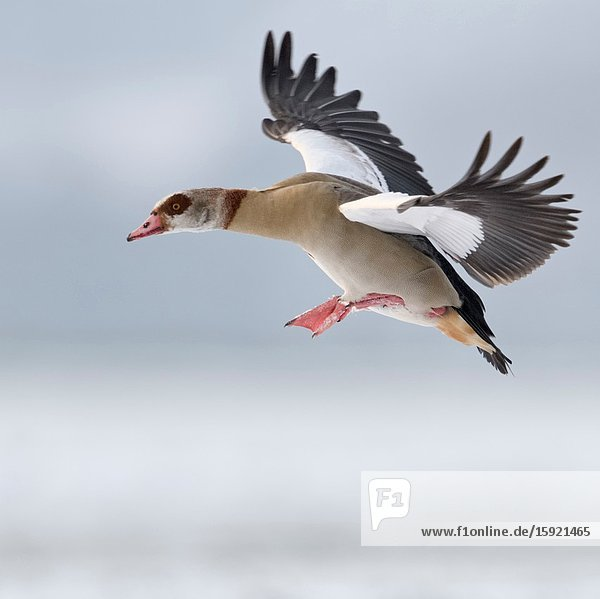 Egyptian Goose / Nilgans (Alopochen aegyptiacus) in winter  flying  just before landing  in wintry atmosphere  wildlife  Europe.
