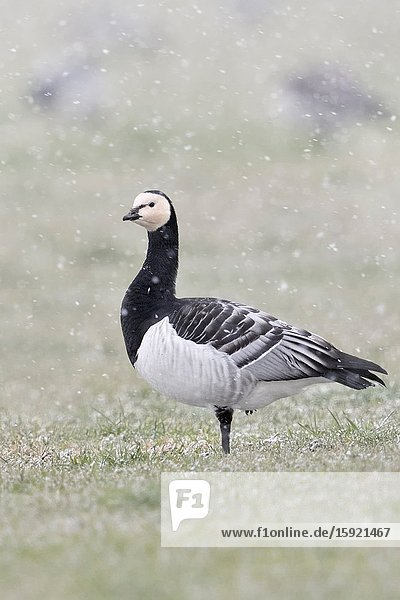 Barnacle Geese / Nonnengänse ( Branta leucopsis )  flock in winter  feeding on a pasture during snow shower  one is watching around  wildlife  Europe.