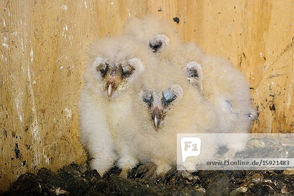 Barn Owl ( Tyto alba )  chicks  offspring  crouched  sitting in their nesting aid  sleeping  cute and funny animal babies  wildlife  Europe.
