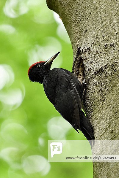 Black Woodpecker ( Dryocopus martius ) on tree trunk in front of nest hole  nesting cavity  wildlife  Europe.