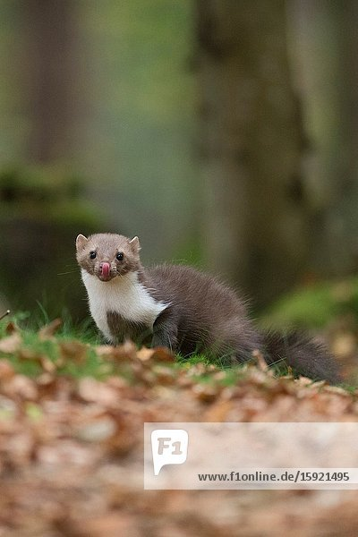 Beech Marten / Stone Marten / Steinmarder ( Martes foina ) licks its tongue in nice surrounding of a natural forest..