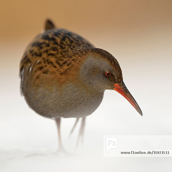 Water Rail / Wasserralle (Rallus aquaticus ) in winter  permanent resident  searching for food  threatened  endangered  wildlife  Europe.
