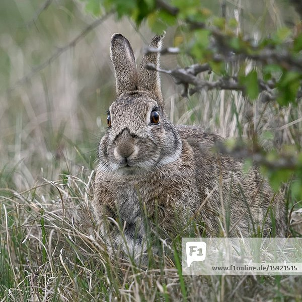Rabbit / European Rabbit ( Oryctolagus cuniculus )  adult  hiding under bushes  looks cute  wildlife  Europe.