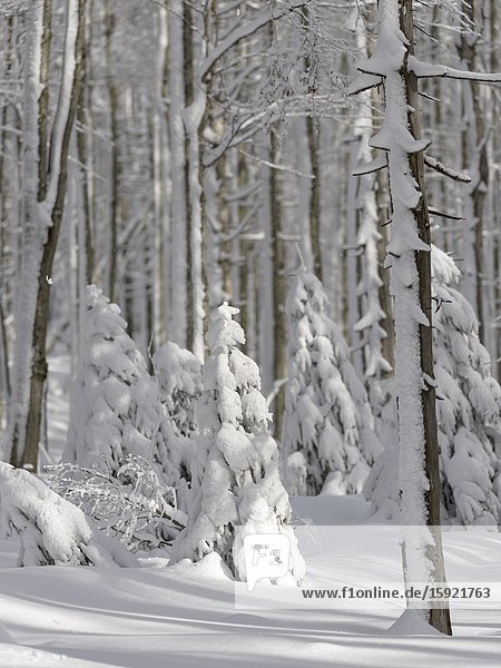 Winter at Mount Lusen in National Park Bavarian Forest (Bayerischer Wald)  Europe  Central Europe  Germany  Bavaria.