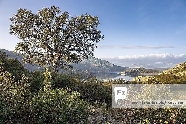 Holm oak  cistus ladanifer and Atazar reservoir at Sierra Norte on a sunny winter day. Madrid. Spain. Europe.