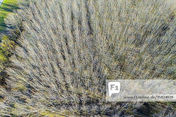 Poplar grove. Aerial view. Ancin area. Navarre  Spain  Europe.