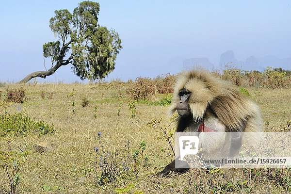 Ethiopia  Amhara region  World Heritage Site  Simien Mountains National Park  Gelada baboon.