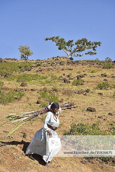 Ethiopia  Bahir Dar region  Blue Nile falls surroundings  Woman carrying sugar cane on the way to Tissisat market.