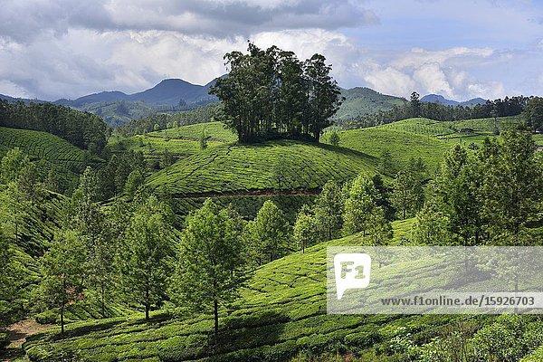 India  Kerala  Munnar  Tea plantations.
