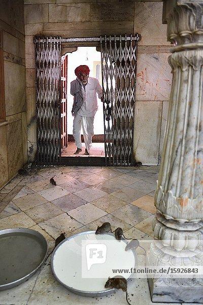 India  Rajasthan  Bikaner region  Deshnoke  Karni Mata temple also known as the Temple of Rats  Milk offering.
