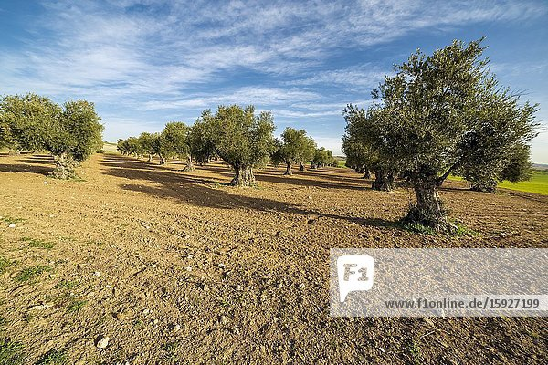 Olive trees at the country of Pinto. Madrid. Spain. Europe.