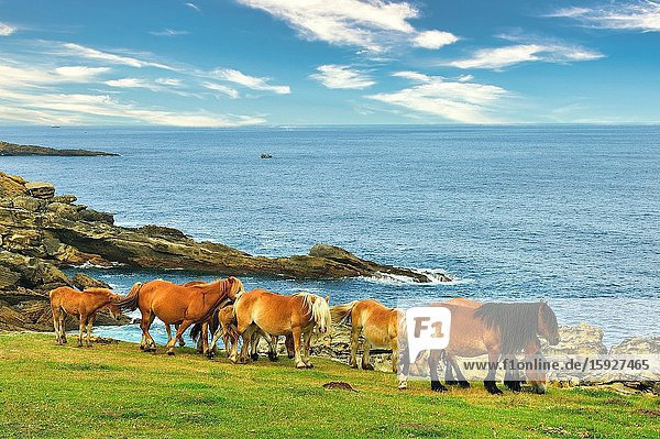 Horses in the Basque coast. Hondarribia town  Guipuzcoa province  Spain
