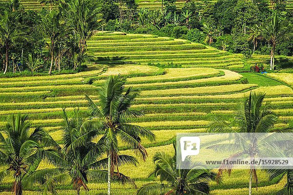 Jatiluwih Rice Terrace (UNESCO World Heritage Site)  Bali  Indonesia.