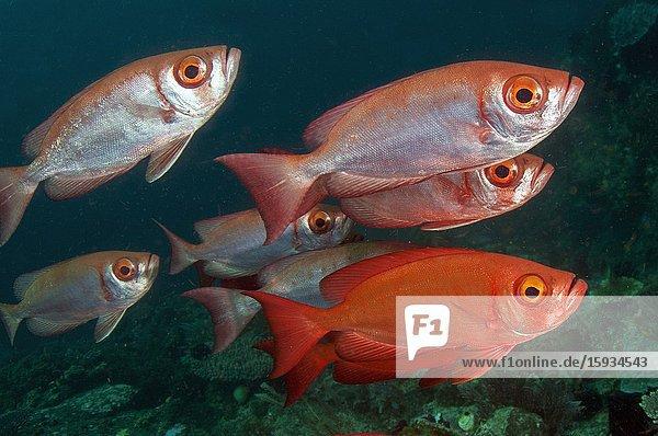 School of Crescent-tail Bigeye (Priacanthus hamrur)  Blue Magic dive site  Dampier Strait  Raja Ampat  Indonesia.