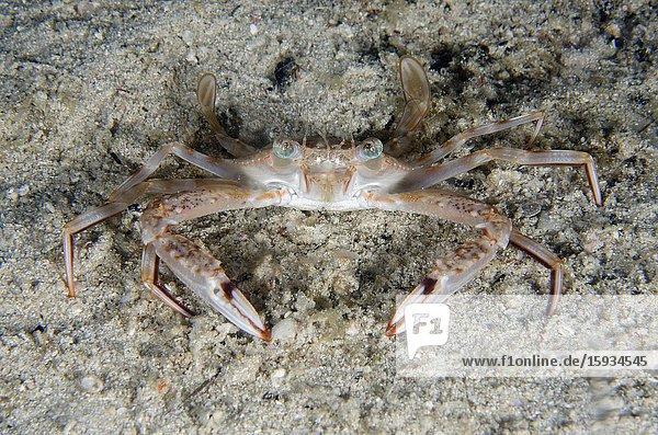 Swimming Crab (Portunus sp) buried on sand  night dive  Sakokreng Jetty dive site  Dampier Strait  Raja Ampat  Indonesia.