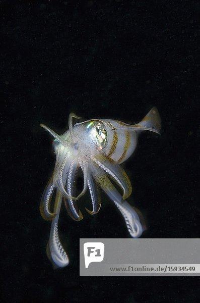 Bigfin Reef Squid (Sepioteuthis lessoniana)  night dive  Sakokreng Jetty dive site  Dampier Strait  Raja Ampat  Indonesia.