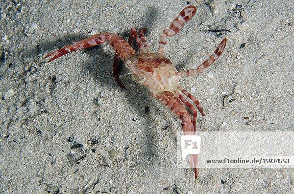 Mating Swimming Crabs (Portunus sp) on sand  night dive  Sakokreng Jetty dive site  Dampier Strait  Raja Ampat  Indonesia.
