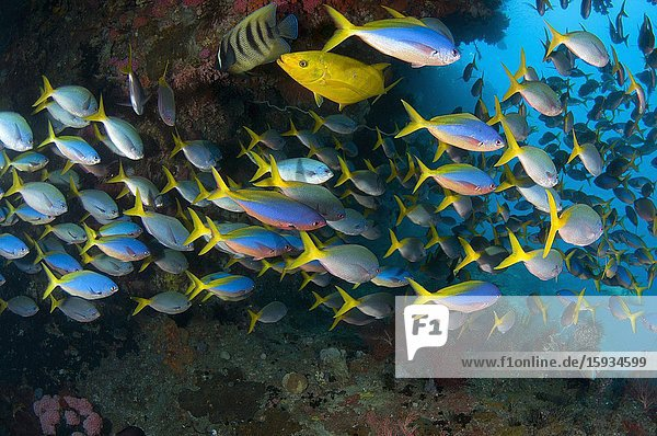 School of Blue and Yellow Fusiliers (Caesio teres) with Orange-spotted Trevally (Carangoides bajad) and Six-banded Angelfish (Pomacanthus sexstriatus)  No Contest dive site  Balbulol Island  Misool Island  Raja Ampat  Indonesia.