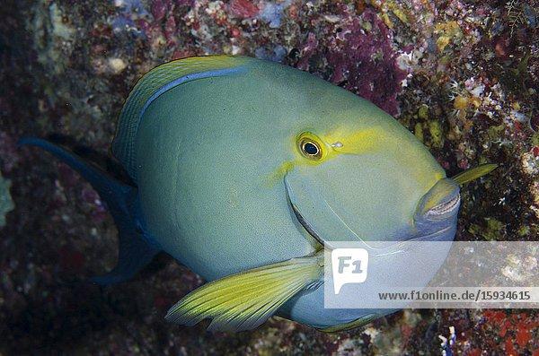 Yellowfin Surgeonfish (Acanthurus xanthopterus)  Whale Rock dive site  Misool Island  Raja Ampat  Indonesia.