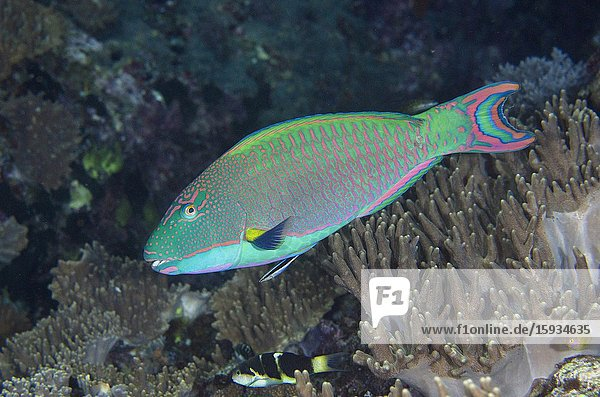 Male Spotted Parrotfish (Cetoscarus ocellatus)  Boo West dive site  Misool Island  Raja Ampat  Indonesia.