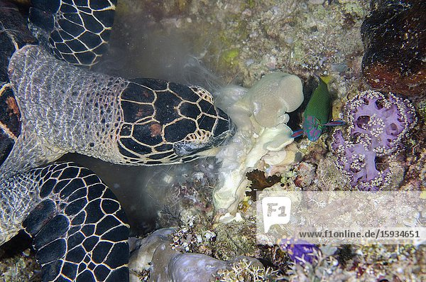 Hawksbill Turtle (Eretmochelys imbricata) eating soft coral with with Moon Wrasse (Thalassoma lunare)  Boo Window dive site  Misool Island  Raja Ampat  Indonesia.