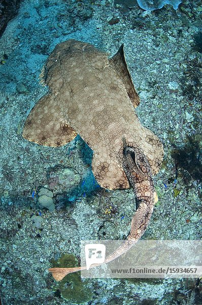 Tasselled Wobbegong Shark (Eucrossorhinus dasypogon) swimming  Karang Bayangen dive site  Warakaraket  Misool Island  Raja Ampat  Indonesia.
