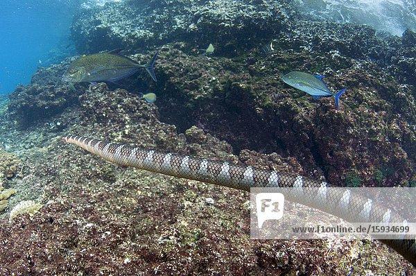 Chinese Sea Snake (Laticauda semifasciata) in hunting alliance with pair of Bluefin Trevally (Caranx melampygus)  Tanjung Kelapa dive site  Manuk Island  Indonesia  Banda Sea.