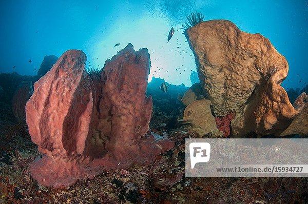Barrel Sponge (Xestospongia testudinaria) and coral with sun in background  Pohon Miring dive site  Banda Besar Island  Banda Islands  Indonesia  Banda Sea.