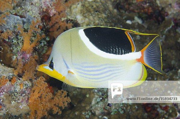 Saddled Butterflyfish (Chaetodon ephippium)  Pohon Miring dive site  Banda Besar Island  Banda Islands  Indonesia  Banda Sea.