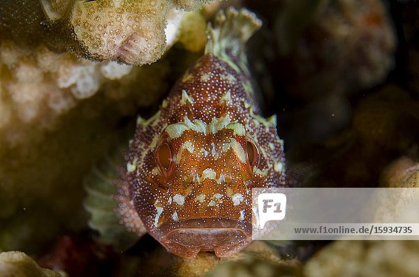 Yellow-spotted Scorpionfish (Sebastapistes cyanostigma) in coral  Batu Kapal dive site  Pulau Pisang  Banda Islands  Indonesia  Banda Sea.