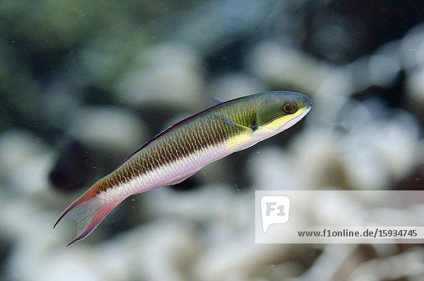 Bluntheaded Wrasse (Thalassoma amblycephalum)  Suanggi Island dive site  Banda Islands  Indonesia  Banda Sea.