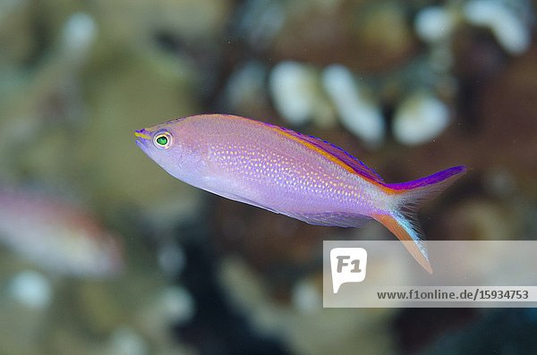 Princess Anthias (Pseudanthias smithvanizi)  Suanggi Island dive site  Banda Islands  Indonesia  Banda Sea.