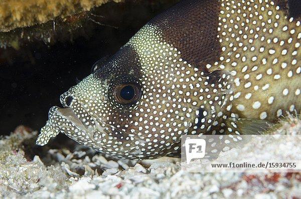 Spotted Soapfish (Pogonoperca punctata)  Suanggi Island dive site  Banda Islands  Indonesia  Banda Sea.